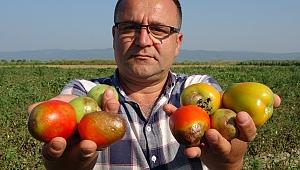 Türkiye'nin yüzde 40 salçalık ihtiyacını karşılayan ovadaki domatesler kurudu