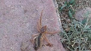 Kayseri'de, 'sarıkız' cinsi örümcek tedirginliği