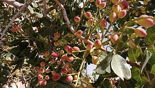 Yeşilhisar'daki Antep Fıstığı Ağacı merak uyandırıyor