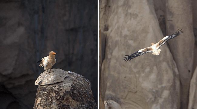 Türkiye'deki tek akbaba türü Kapadokya'da
