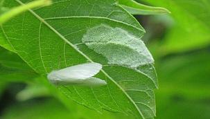 628 farklı bitki türüne zarar veriyor