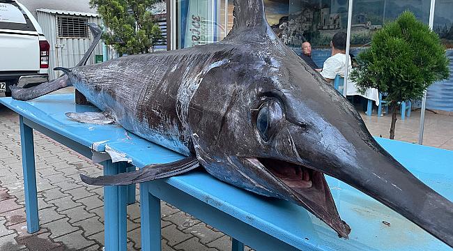 Dev kılıç balığı ilgi gördü