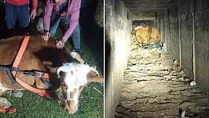 Menfeze sıkışan inek, kurtarıldı